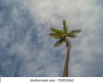 Upward View of a Coconut Palm Tree Under Hawaiian Skies.