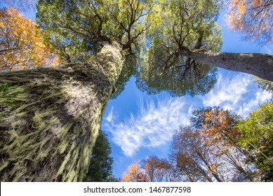 """Upward view to Conguillo National Park trees during autumn season, fallen leaves, branches and an amazing colorful palette  with the biggest """"Araucaria"""" tree in Conguillio, the """"Araucaria"""" mother"""