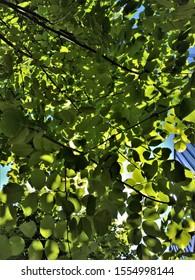 Upward View to Dappled Lit Tree Leaves