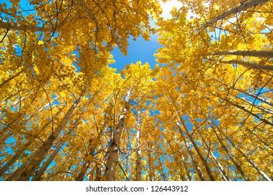 Upward view of Fall Aspen Trees
