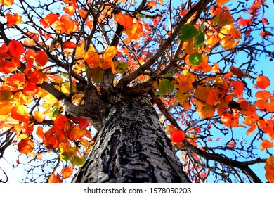 Upward view of fall tree with colorful leaves and blue sky