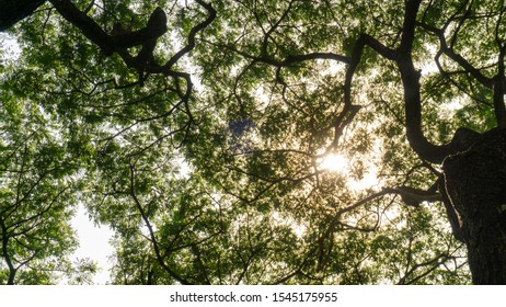 Upward view image to greenery leaves branches of big Rain tree plant sprawling under sunshine and white sky, concept for leaf of nature background