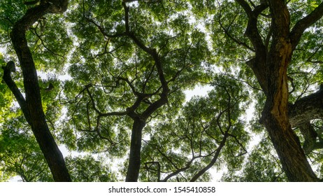 Upward view image to greenery leaves branches of big Rain tree plant sprawling under white sky, concept for leaf of nature background