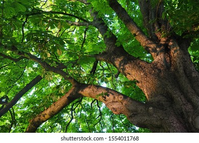 Upward view into the sunlit canopy of an old chestnut tree