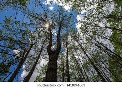 Upward view of Old and Tall Pine Trees against  blue sky in Thung Salaeng Luang National Park Phetchabun, Thailand