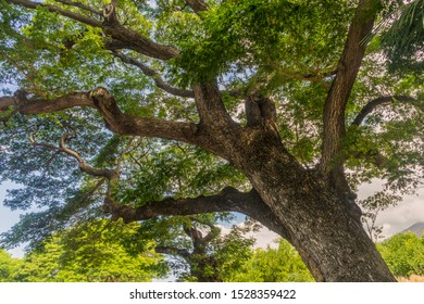 Upward view of an old tree