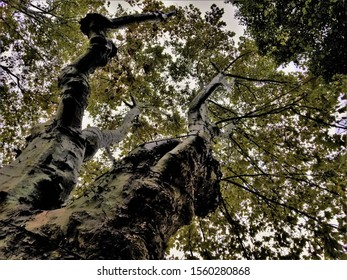 Upward View of an Old Tree Trunk