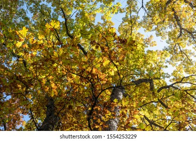 Upward View of Trees with Colorful Leaves in Fall
