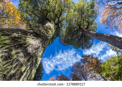 An upward view to the trees of Conguillo National Park during autumn season, fallen leaves, branches and an amazing colorful palette with the awesome Mother Araucaria the highest tree in the park