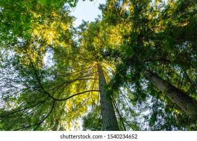 Upward view of trees into blue sky.