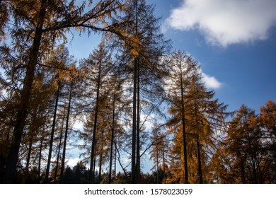 Upward view of trees with silver bark blue sky