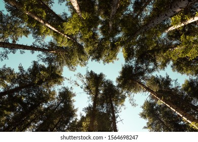 Upward view of trees in the wood in a sunny day