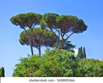 Upward view of a trio of stone pine commonly known as umbrella trees in Rome Italy. Blue sky background.