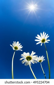 Upward view of white daisy flowers (camomile) against bright blue, sunny sky. Copy space.