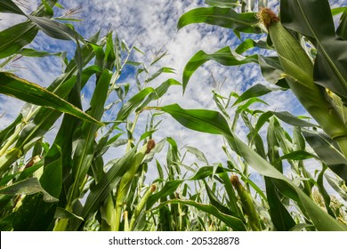 Upwards view of a maize field during summer season before maturation