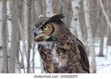 U.Q.R.O.P. rehabilitation center for birds of prey, Québec, Canada, march 2020, ready to go free