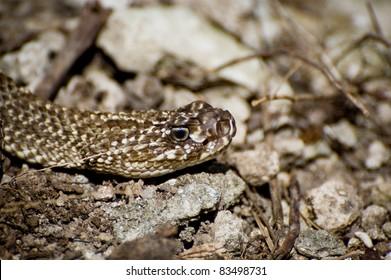 Uracoan Rattlesnake