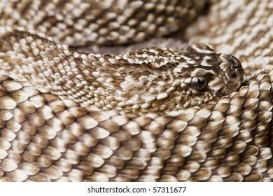 Uracoan Rattlesnake (Crotalus vegrandis) portrait