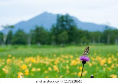 Uraginhioumon batterfly of Oze swamp