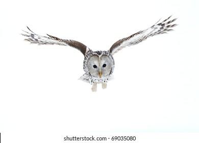 Ural Owl flying over snow