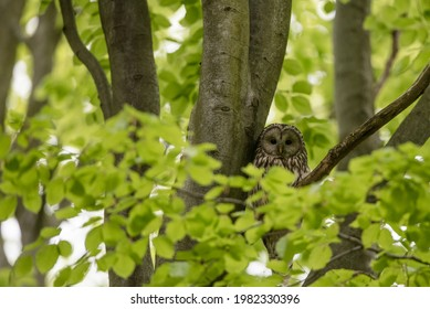Ural owl hiding on a tree