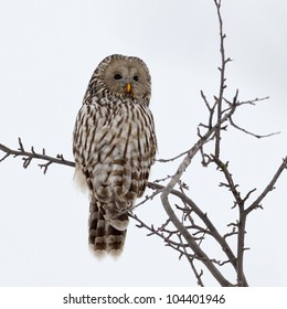 Ural owl in natural habitat (strix uralensis)