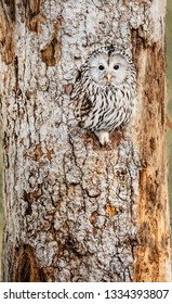 Ural Owl sitting in a tree hole looking at camera - National Park Bavarien Forest - Germany