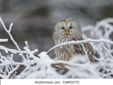 Ural owl in snow