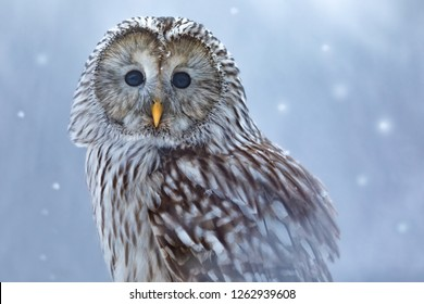 ural owl in snow, beautiful owl with snowflakes, portrait of owl in snow