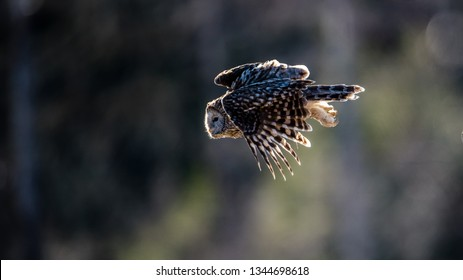 Ural owl (Strix uralensis) flying against the light to catch a prey with a defocused background