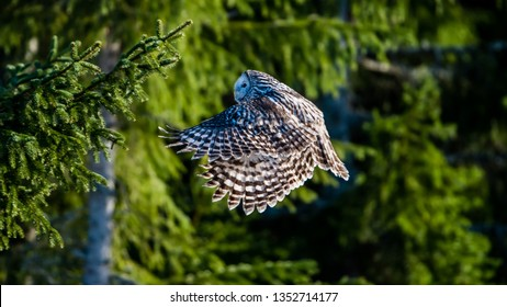 Ural owl (Strix uralensis) flying  in the fir forest with sunshine on its back and a green defocused background.