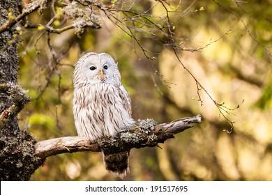 The Ural Owl or Strix uralensis on the rock