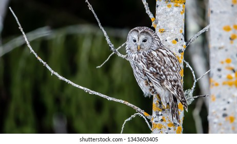 Ural owl (Strix uralensis) perching on an aspen twig with a defocused background