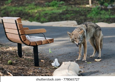 An Urban Coyote Eating Fast Food