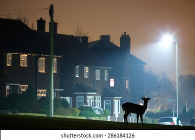 Urban Fallow Deer silhouette Wild deer rooming around the streets of a UK housing estate at night