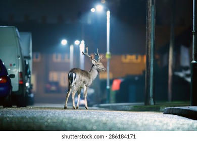 Urban Fallow Deer Wild deer rooming around the streets of a UK housing estate at night