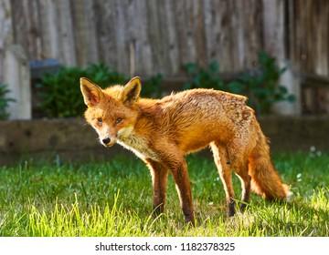 Urban Fox in garden in South London