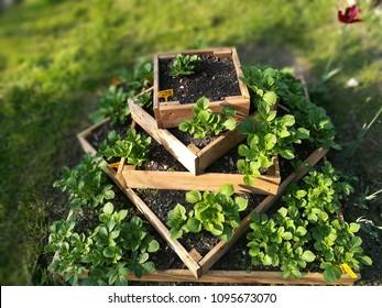 urban gardening potatoes in pyramid