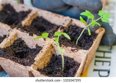 Urban gardening with tomato plants