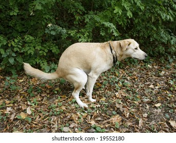 Urban hygiene: Golden Labrador doing her ablutions in forest  rather than on street