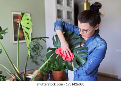 Urban jungle, indoor potted plants, woman caring for monstera leaves. Female cleans dust from leaves with rag and water. Home gardening, houseplant, hobby and leisure