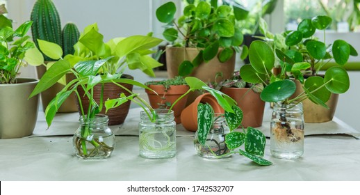 Urban Jungle, repotting or potting houseplants - interior trend with potted plants