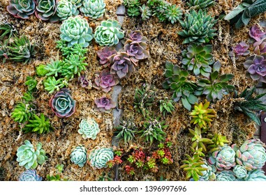 An urban living green wall (vertical garden) planted with succulents