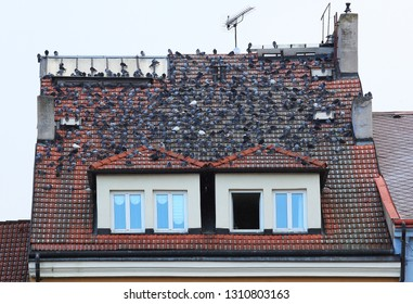 Urban pigeon on the roof