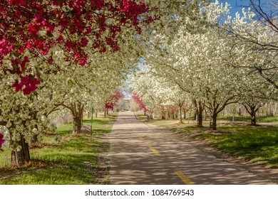 Urban scene with bike and walking path lined with blooming crab apple trees in spring