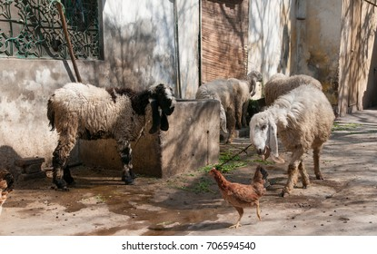 Pakistan Sheep Images, Stock Photos & Vectors | Shutterstock