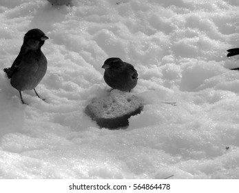 Urban sparrow on the snow on the black and white image