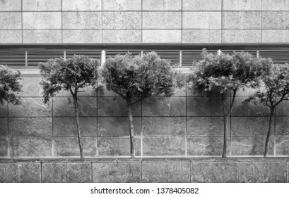 Urban Trees and Shadows.  City scene of Japanese fir trees against a marble building wall.