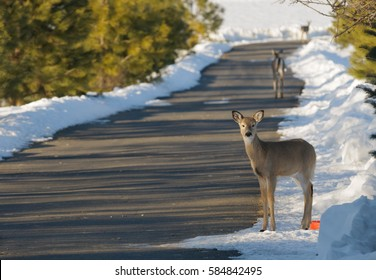 urban Whitetail deer in the winter