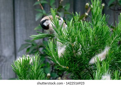 Urban wildlife as a goldfinch (Carduelis carduelis) wild bird gathers discarded cat fur moult from a rosemary bush